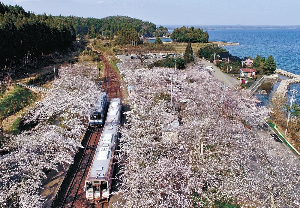 満開のソメイヨシノが咲き誇る中を走る列車=穴水町ののと鉄道能登鹿島駅(小型無人機から)