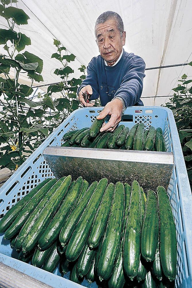 青々と実った春キュウリを収穫する生産者=打木町