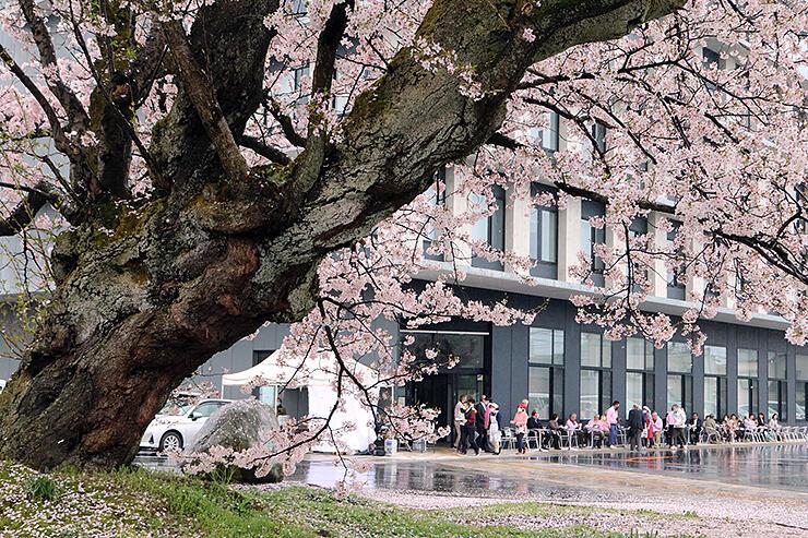 百年桜(手前)をめでながら交流する参加者