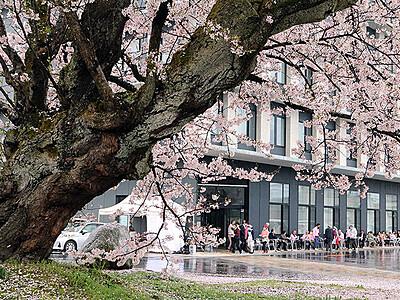 百年桜眺めて交流 黒部 「観る会」2年ぶり開催