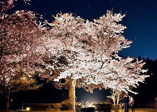 ライトアップされ、幽玄な姿を見せる糸桜=4月2日夜、福井県福井市城戸ノ内町
