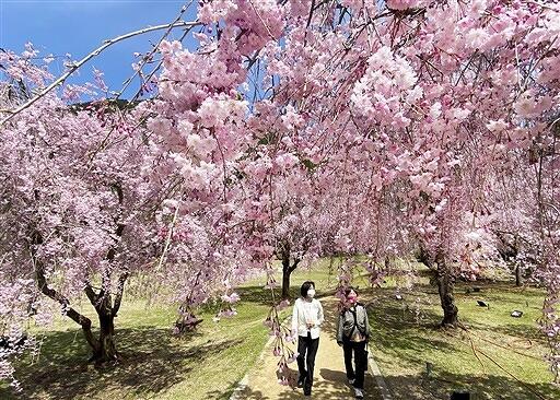 見ごろを迎えているしだれ桜=4月6日、福井県坂井市丸岡町山竹田のたけくらべ広場