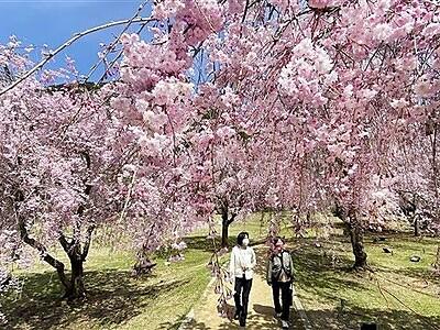 竹田のしだれ桜、魅力満開 ライトアップも 福井県坂井市