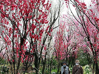 赤やピンク鮮やかに 天神山ガーデンのハナモモ見頃