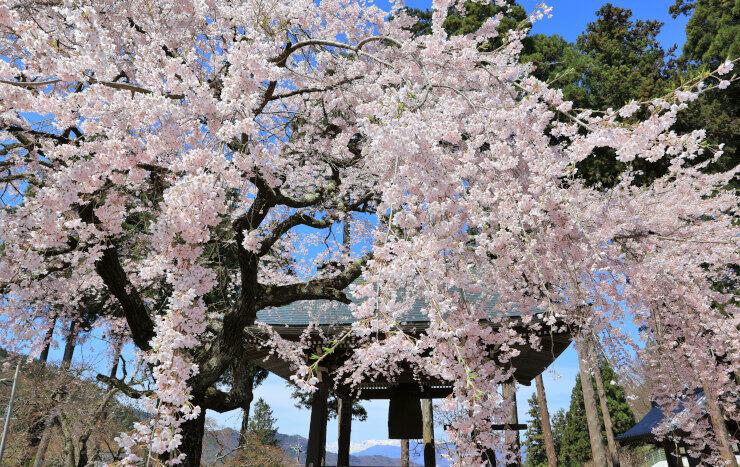 鮮やかな花を咲かせた枝が風に揺れる清水寺のシダレザクラ。遠くに真っ白な北アルプスが望める=6日、長野市若穂保科