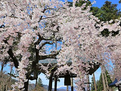 里山の春、たおやかに 長野・清水寺のシダレザクラ満開
