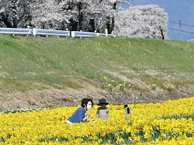 春のキャンバス、あふれる彩り 諏訪の河川敷にスイセンと桜
