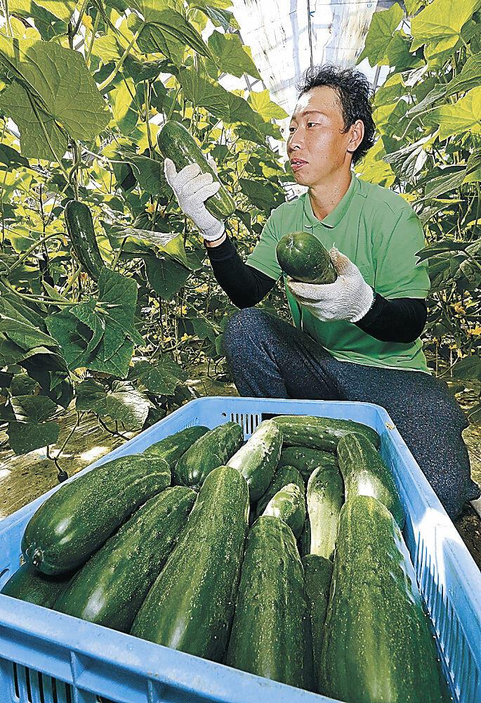 加賀太きゅうりの収穫をする農家=金沢市打木町