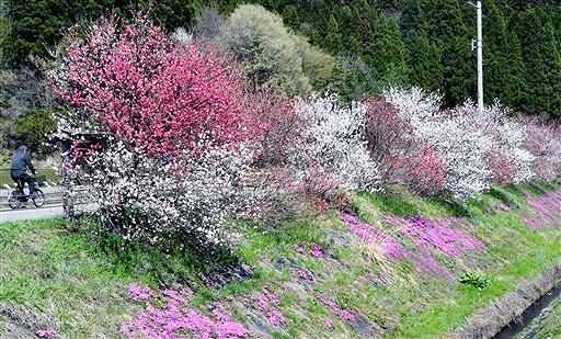 用水路脇の斜面を彩るハナモモとシバザクラ=4月7日、福井県大野市牛ケ原