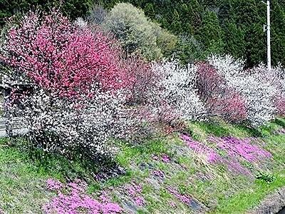 雪負けじとハナモモ並木満開 福井県大野・牛ケ原