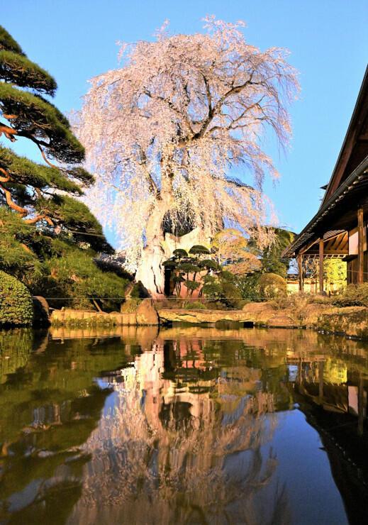 立ち姿が美しい貞松院のシダレザクラ