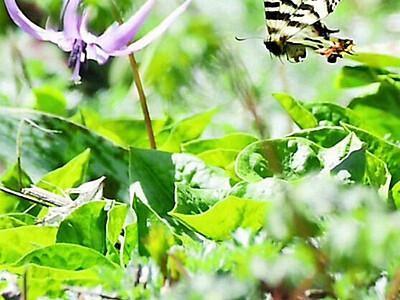 チョウ舞う薄紫の花園 朝日・古川寺の裏山でカタクリ見頃