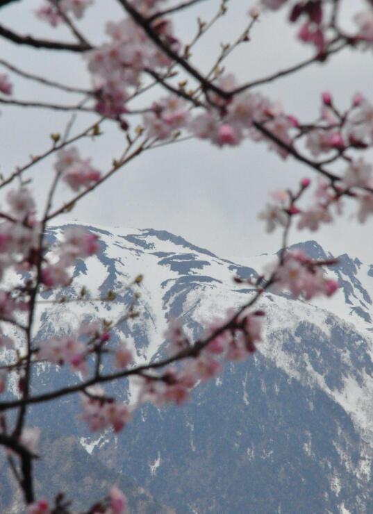 桜越しに見える「島田娘」(向山世男さん撮影)