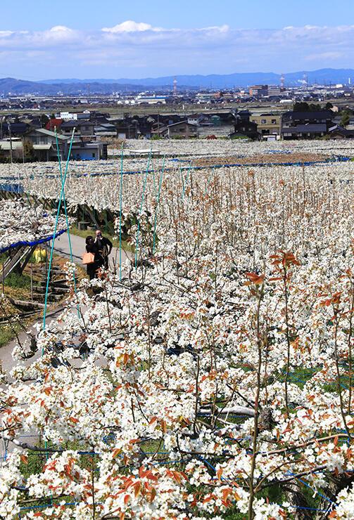 呉羽丘陵の麓を白く染めたナシの花=富山市吉作