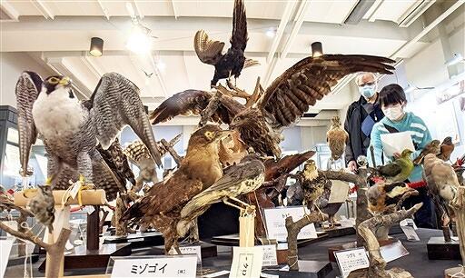 約90種100体の野鳥のはく製が並ぶ企画展=福井県福井市自然史博物館