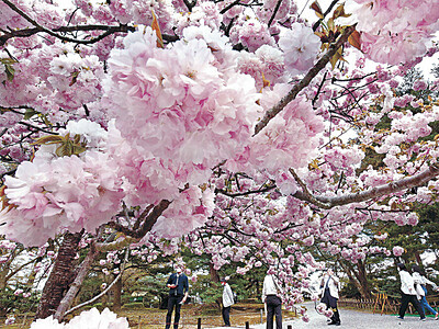 八重咲きの桜「楊貴妃」にうっとり 兼六園で見頃