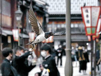 ツバメ大忙し 金沢・ひがし茶屋街 餌探しや巣作り