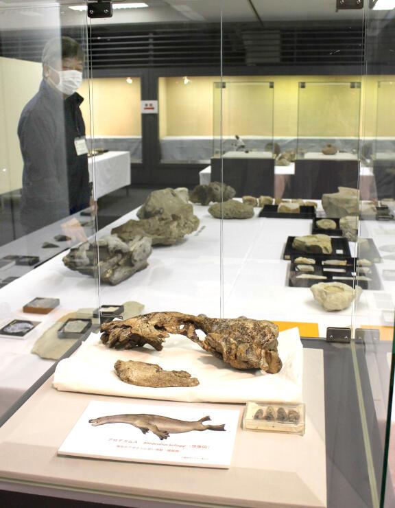 貴重な化石も並ぶ「佐渡島大化石展」=佐渡市八幡