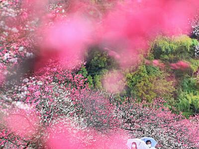 阿智の春、ハナモモ包む「桃源郷」 早めの開花、催しも前倒し