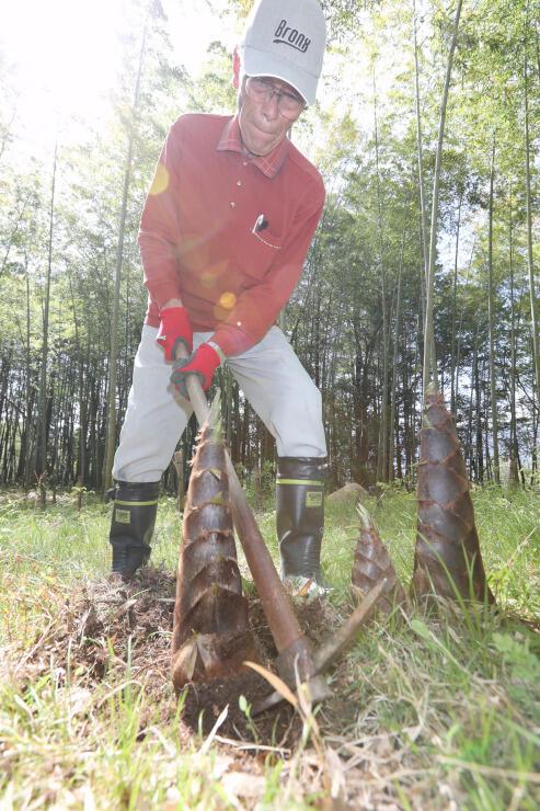 豊丘村河野の竹林で始まったタケノコ狩り=14日