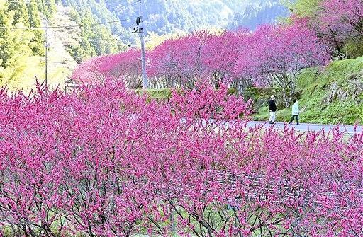 山里を彩る濃いピンク色のハナモモ=4月15日、福井県福井市武周町