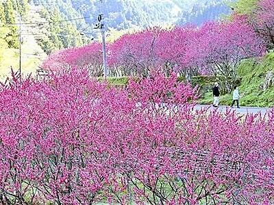 山里彩るハナモモ400本の「並木道」 福井市武周町