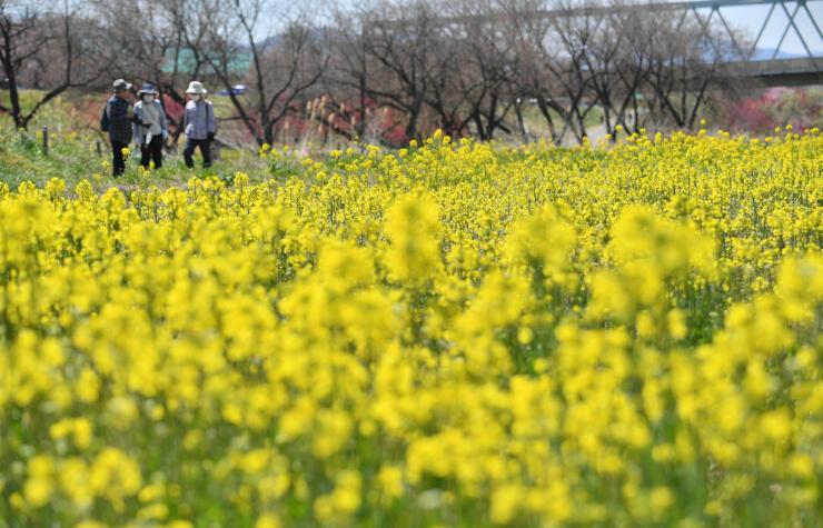 一面に黄色い鮮やかな菜の花が広がる河川公園=15日、小布施町山王島