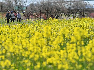 春風に揺れる菜の花 小布施・千曲川河川公園で見頃
