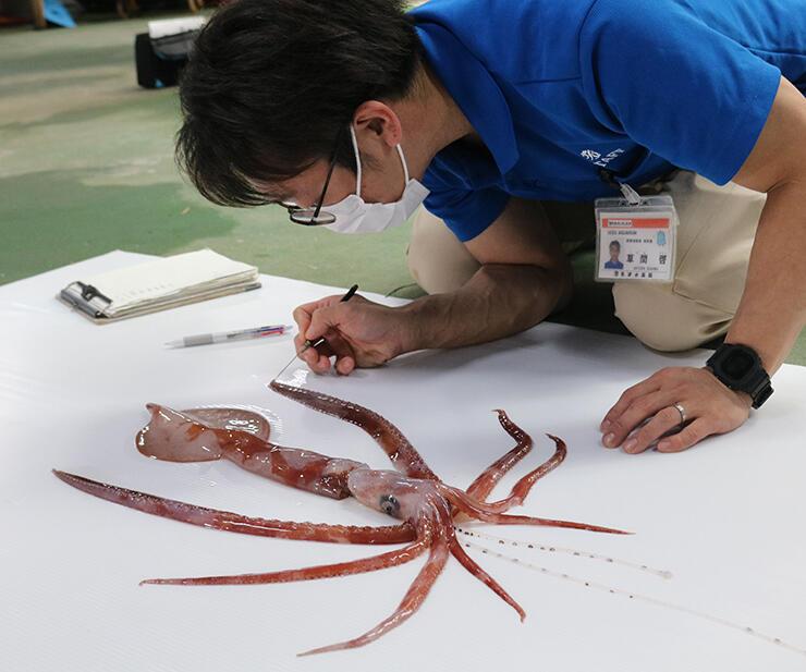 魚津水族館が5年ぶりに確認したユウレイイカ