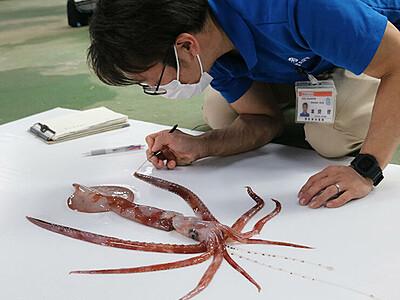 謎の光るユウレイイカ捕獲 伏木沖、魚津水族館で展示