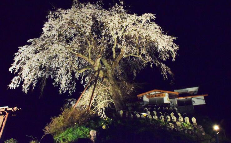 ライトアップされた「高橋のシダレ桜」=15日夜