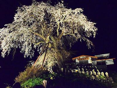 夜空に映える幽玄な薄紅色 鬼無里「高橋のシダレ桜」見頃