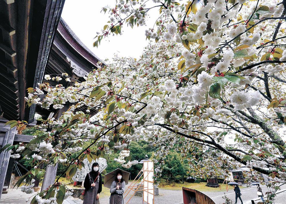 雨の中で白い花を咲かせるケタノシロキクザクラ=羽咋市の気多大社