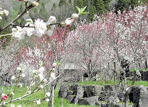 ピンクや白色の花を咲かせるハナモモ=4月19日、福井県大野市下山