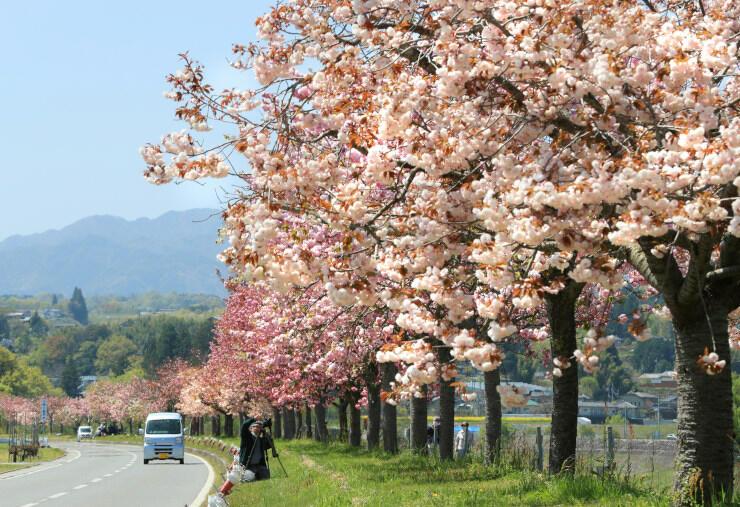 見頃となり、咲き誇るヤエザクラ=19日、飯田市龍江