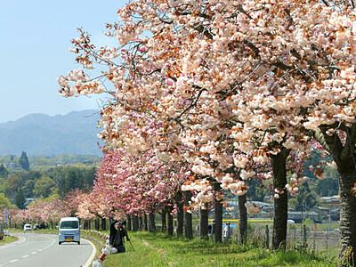 「天龍峡八重桜街道」見事 2年ぶりライトアップ「夜桜も見事」