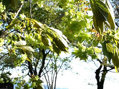薄緑色の花、気付いてね 伊那公園の桜「御衣黄」見頃