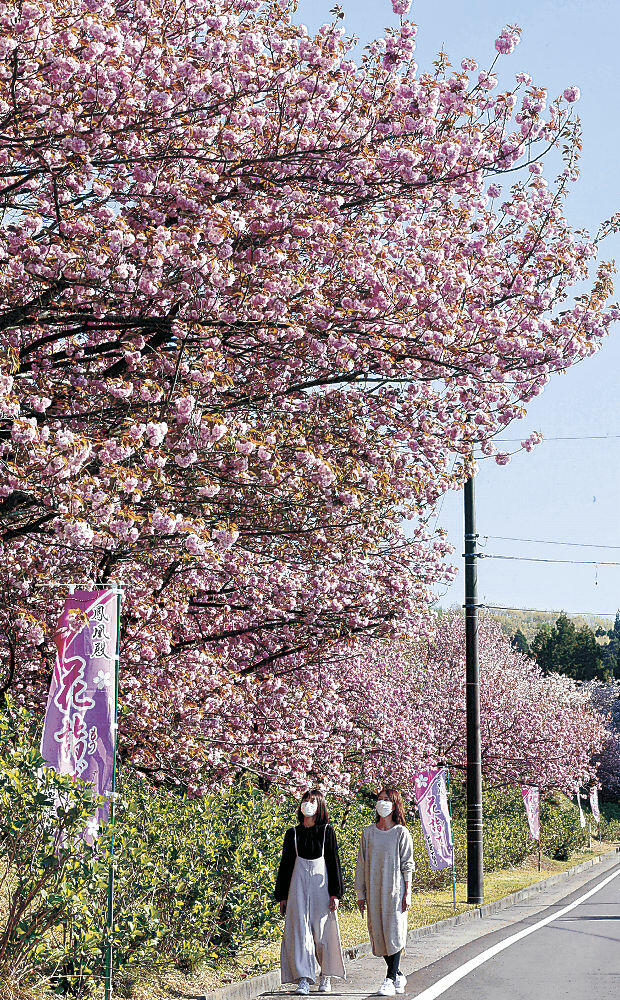 満開となった八重桜=津幡町竹橋
