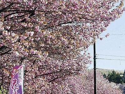 津幡・倶利伽羅地区で八重桜が花盛り