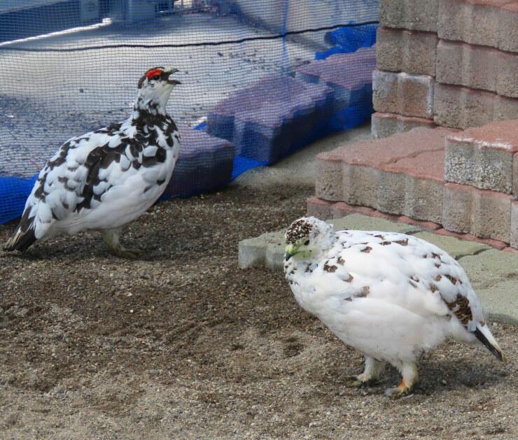 一般公開が始まるニホンライチョウの雄(左)と雌(茶臼山動物園提供)