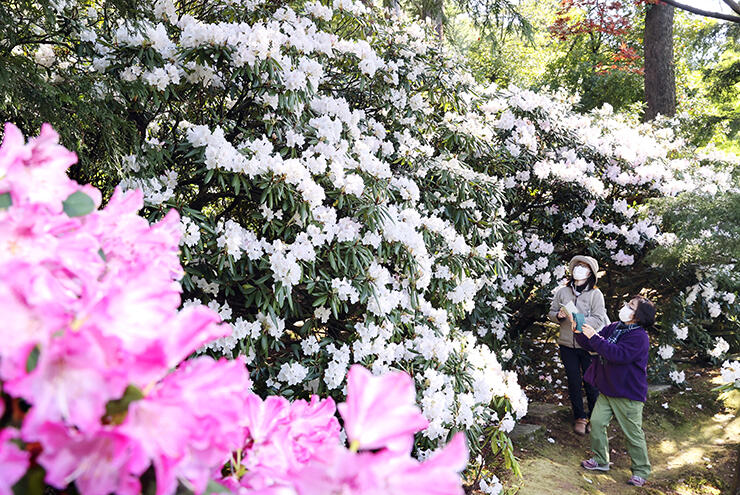 鮮やかな白やピンクの花を咲かせるシャクナゲ=朝日町境