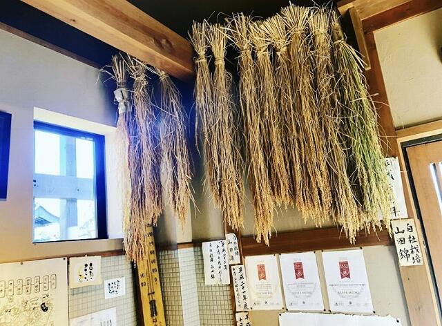 吉田酒造が自社で栽培している酒米