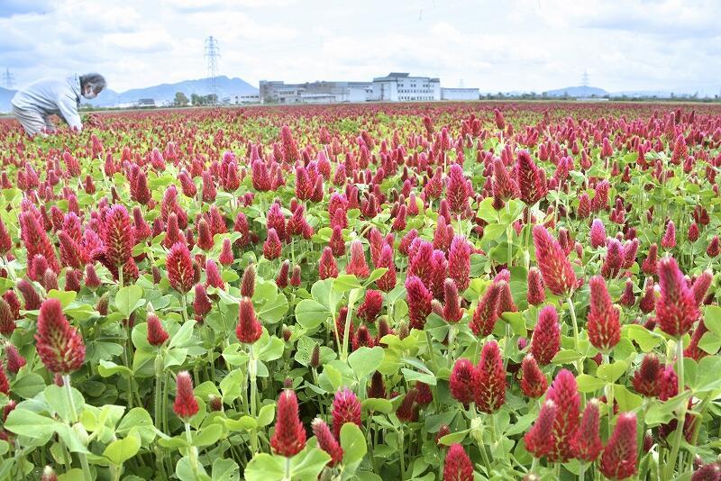 大粒のイチゴのような花穂が美しいクリムソンクローバー=5月3日、福井県福井市河水町