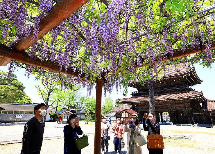 古刹を彩るフジの花=井波別院瑞泉寺