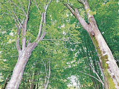 陽光に輝く、新緑のブナ 白山・県樹木公園で見頃