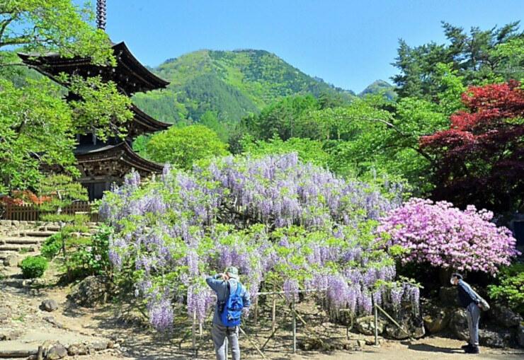 三重塔を背に咲き誇るフジとツツジの花