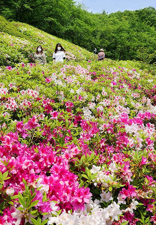 赤紫や白色の花を咲かせ、新緑に映えるツツジ=水道つつじ公園