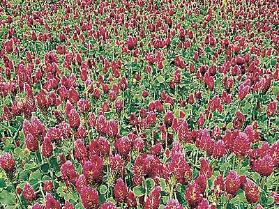 一面に広がる深紅の花 クリムソンクローバー見頃 津幡・ひまわり村