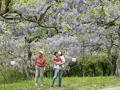 心晴れる紫、一帯染める 長野の高台にフジ棚
