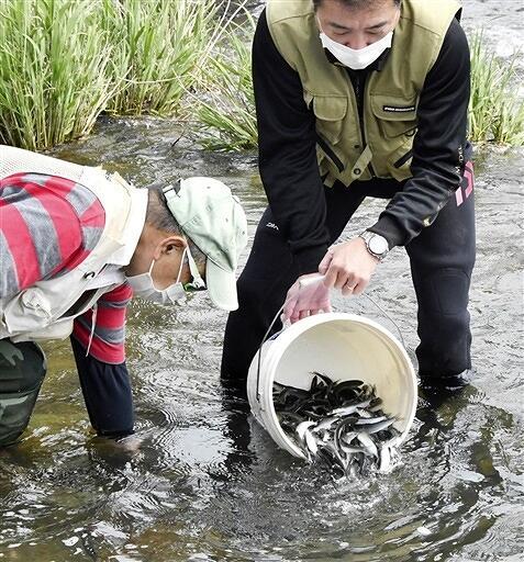 稚アユを放流する大野市漁協組合員=5月13日、福井県大野市の真名川